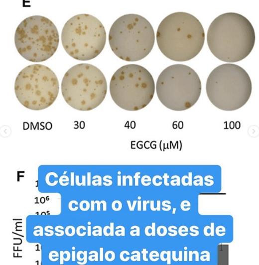 células infectadas com o virus associada a doses de epigalocatequina. Nutrição e Dengue